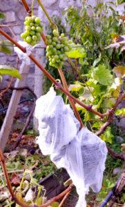 Индивидуальная защита для винограда - Наталия Попова - Профессиональный Художник и Профессиональный Флорист