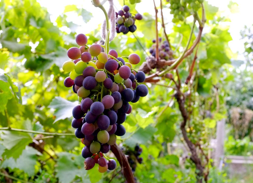 Мой виноград - Наталия Попова - Профессиональный Художник и Профессиональный Флорист