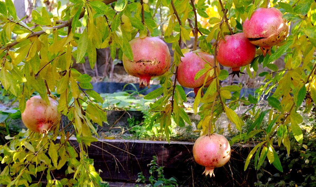Гранаты в моём саду Фото Наталия Попова - Профессиональный Художник 2019 год