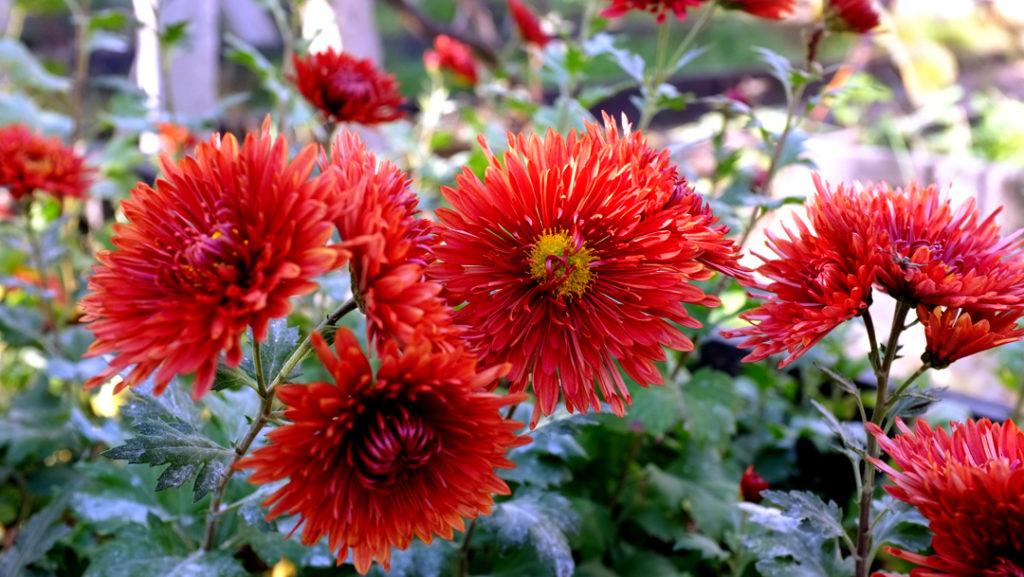 Хризантемы в моем саду - фото Наталия Попова - Профессиональный Художник и Профессиональный Флорист 2019 год